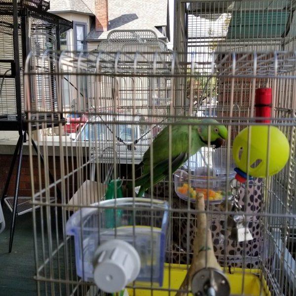 African ringneck in bird cage